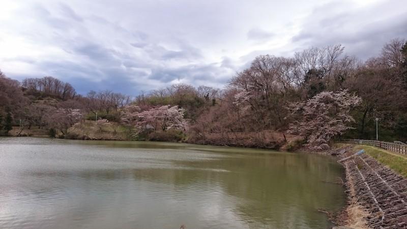 やながわ希望の森公園の桜20150406 4